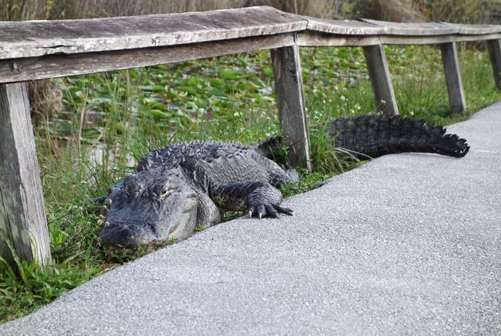 1226_Everglades_AnhingaTrail_Alligator_8.JPG