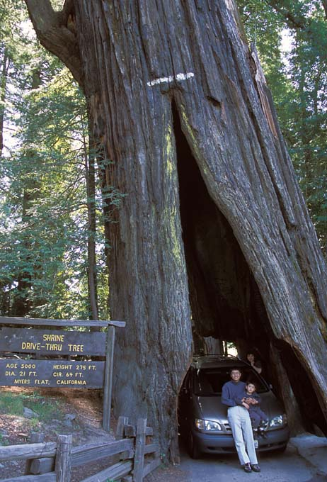 There Are Three Drive Through Trees In The Area Shrine Thru Tree Myers Flat Chandelier Leggett And Klamath Tour